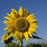 sun-flower-1713206_960_720